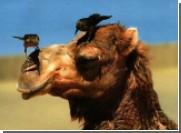Губернатор Астраханской области предложил везти олимпийский огонь на верблюдах