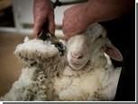 Стрижку овец предложили сделать олимпийским видом спорта