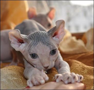 Выведена порода котов с завитыми ушами. Фото