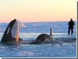 У берегов Канады во льдах застряли косатки