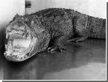 У торговца марихуаной изъяли больного крокодила