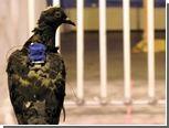 Инженеры заинтересовались воздушной аэробикой голубей