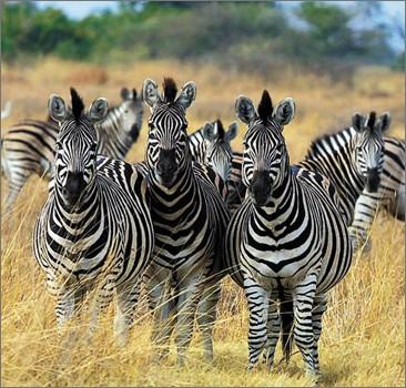 Ученые выяснили, почему зебра полосатая
