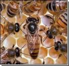 Европе катастрофически не хватает пчел