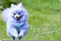 Фиолетовая собака заработала шесть тысяч фунтов