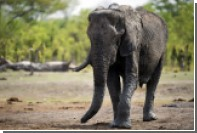 В Техасе отменили аукцион по продаже лицензии на убийство слона