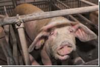 Жительница Приморья пойдет под суд за употребление своей свиньи в пищу