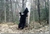 В приморском нацпарке засняли «танцующего» с деревом медведя
