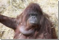 Звуки пятидесятилетней обезьяны рассказали о происхождении человеческого языка