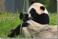 Пандам предрекли массовое вымирание
