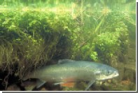 Сперма лосося поможет в добыче редкоземельных металов