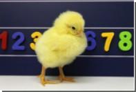 У цыплят нашли общее с человеком умение обращаться с числами