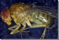 Ученые на мухах испытали «эликсир молодости»