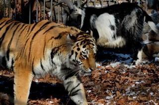 В интернете стартовало реалити-шоу о жизни тигра Амура и козла Тимура