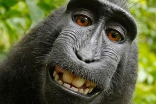 Суд Сан-Франциско отказал обезьянам в авторском праве на селфи