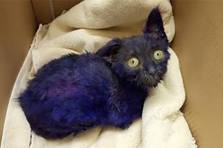 Спасенный в Калифорнии фиолетовый котенок подружился со слепой кошкой