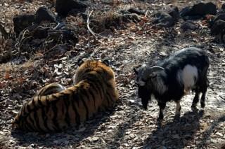 В сафари-парке рассказали о трезвости Тимура и Амура в новогоднюю ночь