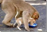Усыновившая бродячего щенка макака стала любимицей соцсетей в Индии