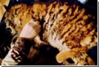 В Приморье спасли вышедшего к селу голодного тигренка