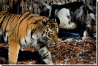 Желающие посмотреть реалити-шоу с Амуром и Тимуром обрушили сайт сафари-парка