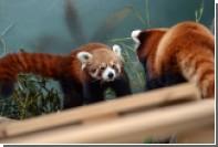 Красные панды из Московского зоопарка впервые вышли на прогулку