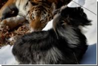 В Приморском сафари-парке допустили возвращение Тимура к напавшему на него Амуру