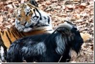 К тигру Амуру и козлу Тимуру подселят амурских леопардов