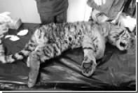 Один из найденных в Приморье тигрят умер