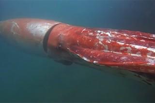 Человек впервые встретил гигантского кальмара и снял его на видео