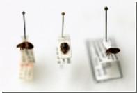Постельные клопы приобрели устойчивость к инсектицидам
