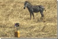 Полоски зебр сочли бесполезным средством камуфляжа