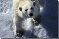 Туристов позвали в Россию для знакомства с белыми медведями