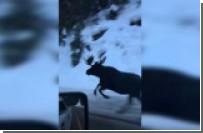 Лось пробежался наперегонки с машиной в Монтане