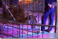 В китайском цирке связали амурского тигра для фотографий с посетителями