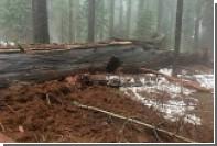 В Калифорнии упала последняя тысячелетняя секвойя с тоннелем в стволе