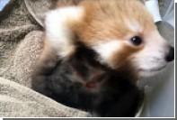 В Австралии красная панда приняла плюшевую игрушку за своего сородича