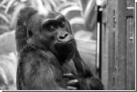 Старейшая жившая в неволе горилла умерла в возрасте 60 лет