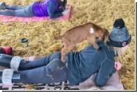 Сотни американцев занялись йогой с козами