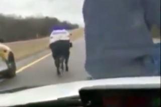 В США ковбой заарканил сбежавшего бычка с капота полицейской машины