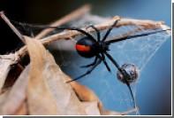Австралийцев отправили на охоту за ядовитыми пауками