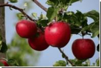 Названа главная особенность американских ГМО-яблок