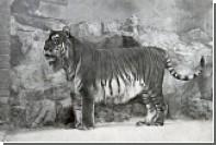 В Казахстане займутся возрождением вымерших каспийских тигров