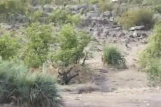 Буйволы отбили у львов беззащитного слоненка