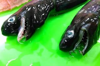 В Тихом океане поймали похожую на «Чужого» рыбу-гадюку