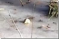 В США аллигаторы вмерзли в лед из-за аномальных холодов
