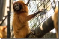 Красный зад обезьяны привел к аварии в Китае из-за сходства со светофором