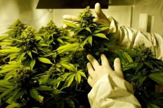 Американцы захотели заработать на марихуане