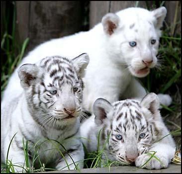 Белые тигры произвели потомство. Фото