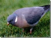 Китайцы научились дистанционно управлять голубями