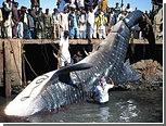В Пакистане выловили 12-метровую мертвую китовую акулу